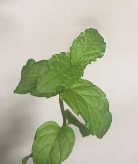Ice Hazelnut Mint cuttings