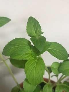 Pear Mint cuttings