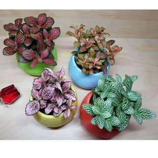 Colourful Fittonia/ Indoor plant