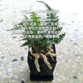 兔腳蕨簡約陶瓷盆栽/幸運小盆栽
