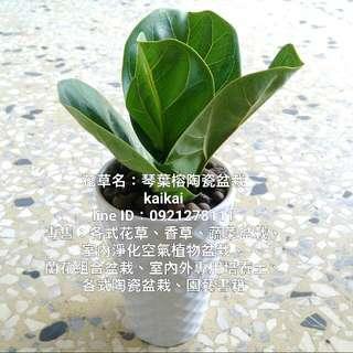 琴葉榕(提琴葉榕)簡約陶瓷小盆栽/室內淨化空氣植物/可淨化二氧化碳,吸附灰塵