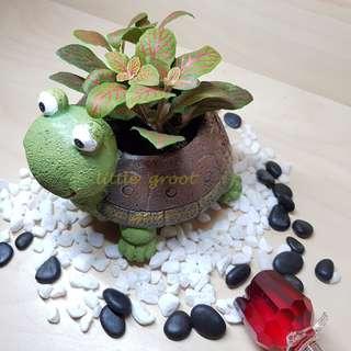 Fittonia in turtle cute planter