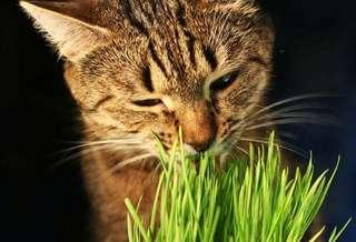 Cat Organic Wheatgrass Instant