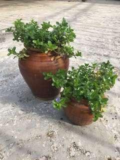 Water hyssop plant