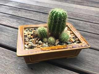 Cactus Plant 🌵