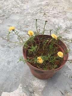 Japanese Yellow Rose Moss (22cm)