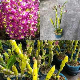 Dendrobium Pink Beauty Queen   Nobile   Orchid Plant