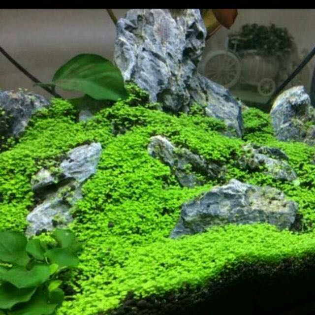 Aquarium Carpet Mini Plant Seeds No Co2 Needed Pet