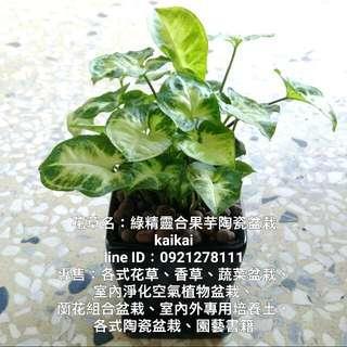 綠精靈合果芋簡約陶瓷盆栽/吸收甲醛,室內環境淨化空氣理想植栽