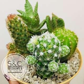 Cactus Arrangement 🌵