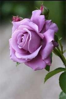 Lavender Bonsai Rose Flower Seeds