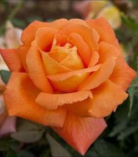 Orange Bonsai Rose Flower Seeds
