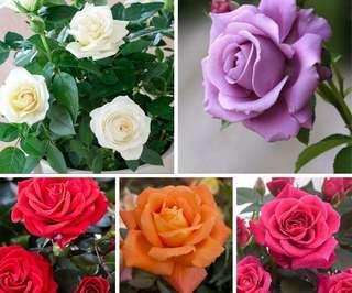 Mix Colour Bonsai Rose Flower Seeds