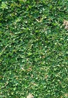 Rumput gajah mini 1 meter persegi 100cm×100cm