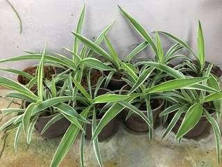 Spider Plants 🌱