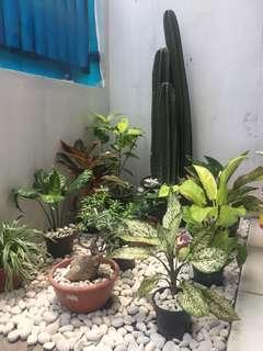 Kaktus koboy tinggi krg lebih 1meter 3pcs