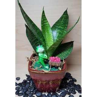 Indoor Plant/ Dwarf Snake Plant