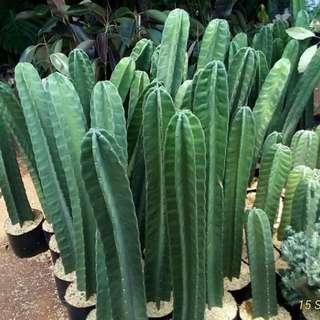 kaktus tinggi 90cm-1.2m. super bagus