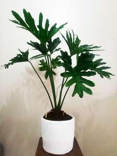 Philodendron Selloum (26 inches) - House Plant