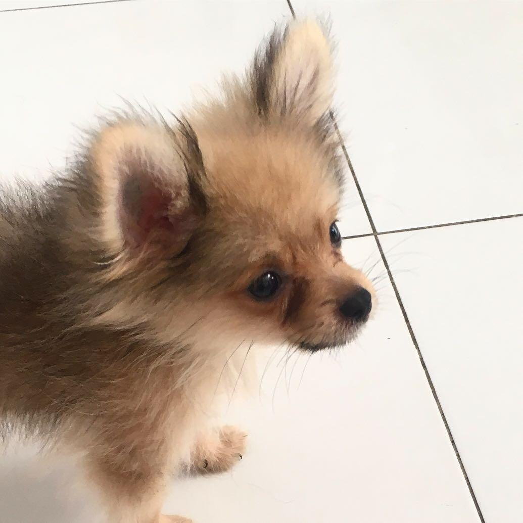 Dijual anjing minipom stanbum