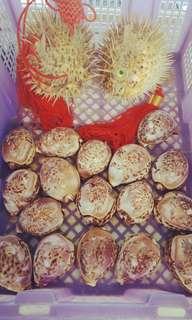 🚚 早期收藏˙龍˙鳳˙貝殼