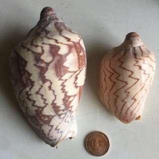 水族/微景觀飾品 鳳凰海螺 生態瓶多肉花盆擺件