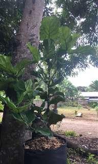 Fiddle Leaf Fig Tree Ficus Lyrata