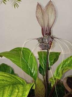 Tacca Integrifolia (bat lily flower) (L size)