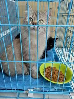 Dijual sepasang kucing ras persia angora jantan betina