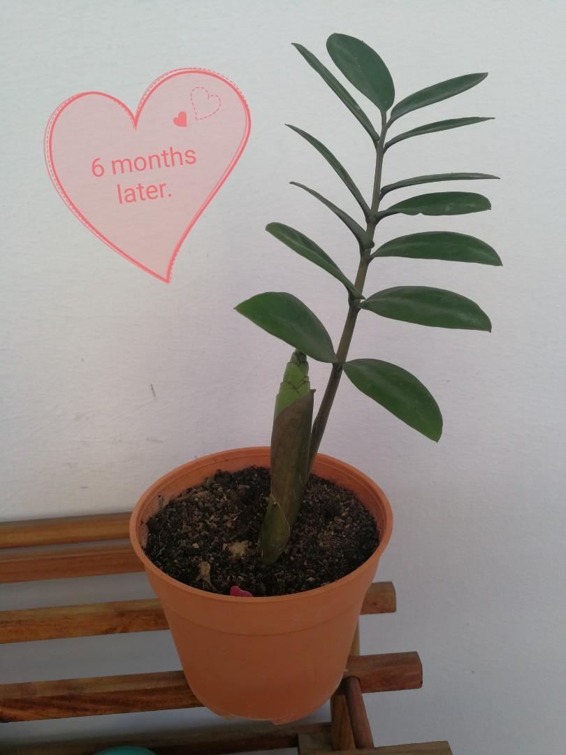 Baby Zz plant (金钱树)
