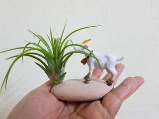 Air Plant, decorative , bonsai,  indoor plant. Gift,