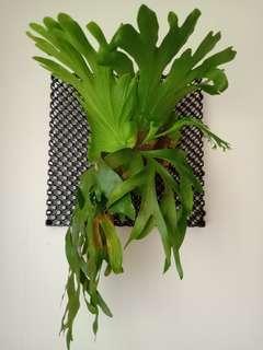 Pokok Tanduk Rusa(P.Coronarium) Staghorn fern