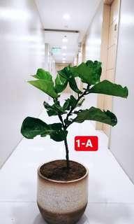 Fiddle Leaf Fig Tree (Ficus Lyrata) - 2ft 2 inches