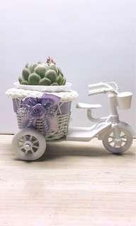 Flowering Succulent in Tricycle