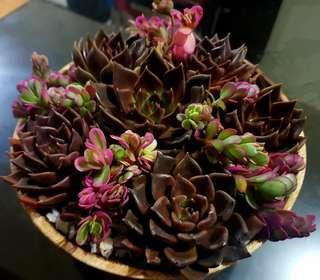 Valentine succulents / black prince flower dish