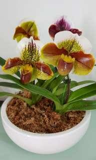 5 Hybrid Orchids in a Pot