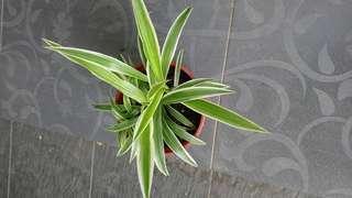 Spider Plant, Chlorophytum, Air purifying