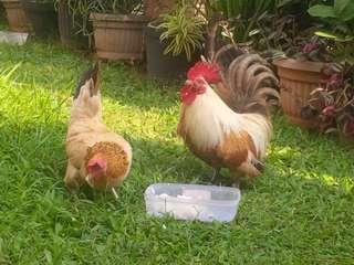 Jual Sepasang Ayam Kate Serama indukan murah kualitas prima