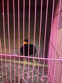 Burung tiong emas