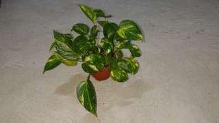 Money Plant ($3.50 only)