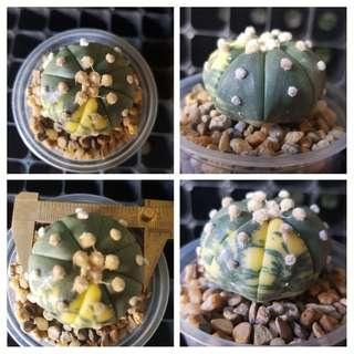 Astrophytum asterias cv. variegated (vertical stripes)