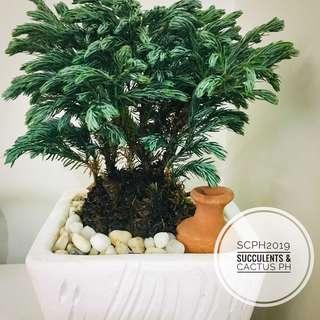 Blue Pine Bonsai