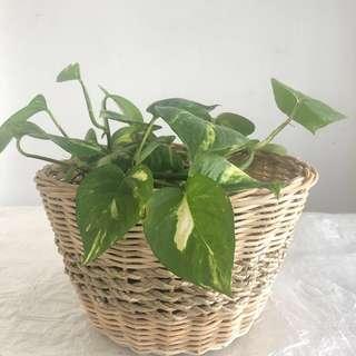 Golden Pothos with Basket (Medium)