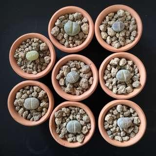 Assorted Lithops