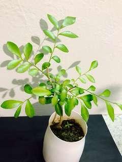 米仔蘭 米蘭 樹苗 魚子蘭 有香味 花開植物 plant Aglaia tree 🌲 中藥 食療