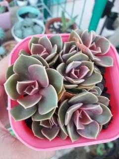 Sukulen Pink Cluster include pot pink