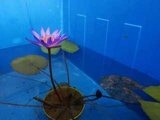 Water Lily Plant Gardening Carousell Singapore