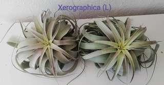 Air Plant - Xerographica (L size)