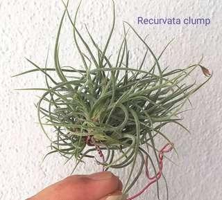Air Plant - recurvata clump