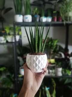SansevieriaBacularis (White Pot Included)